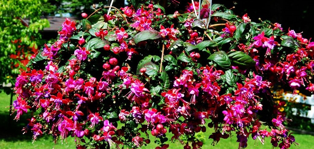 Разновидности ампельных растений