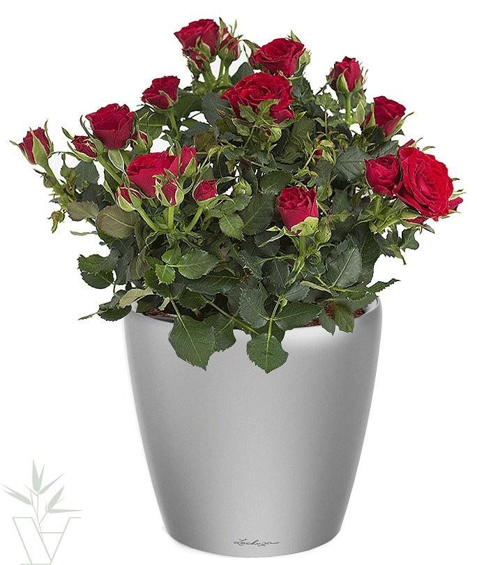 комнатные цветы розы фото многие